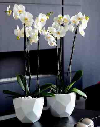 Comment éclaircir une orchidée pour qu'elle fleurisse à nouveau?