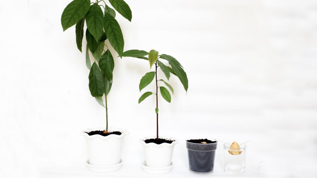 Comment faire pousser une graine de coton avocat?
