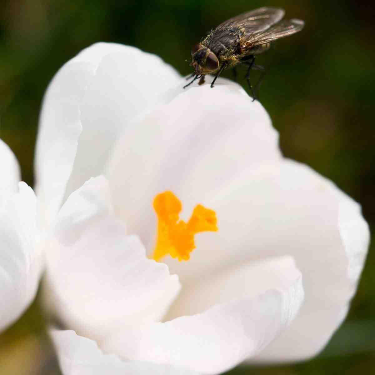 Quelle odeur les mouches n'aiment-elles pas?