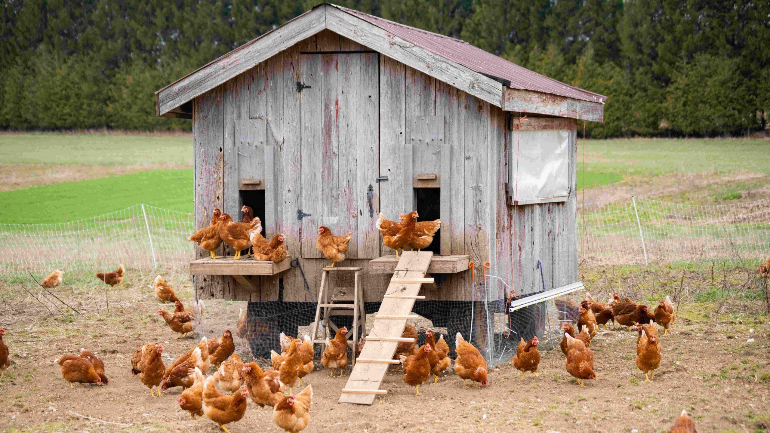 Comment faire une ferme de poulet maison?