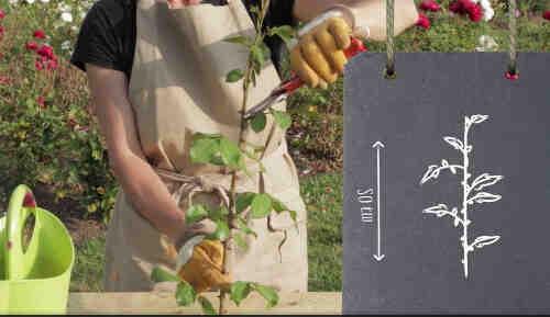 Comment faire pousser un rosier à partir d'une tige ?